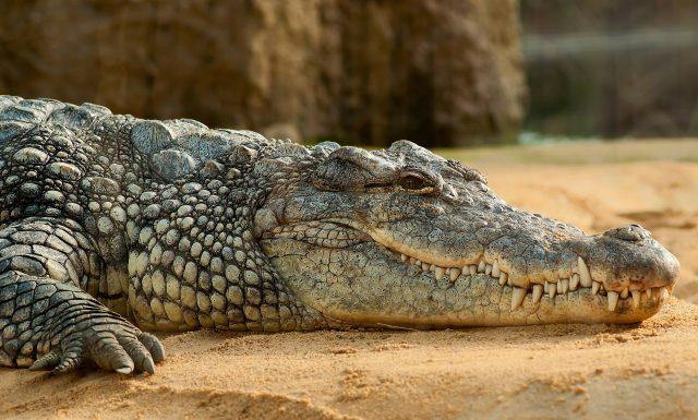 Artis krokodil