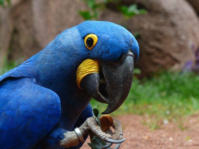 Artis papegaai