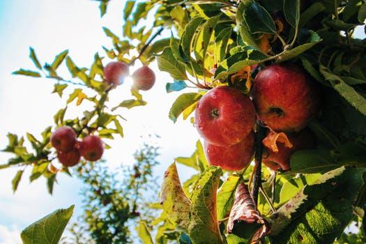 Plukkerij Appelboom